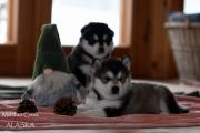 Zdjęcia 5 tygodniowych szczeniąt z miotu Rudolf i Matanuska